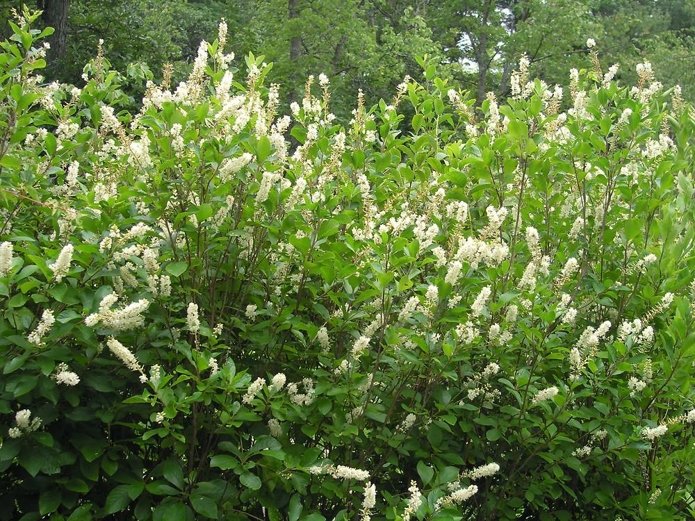 clethra-alnifolia-ha-bpatterson